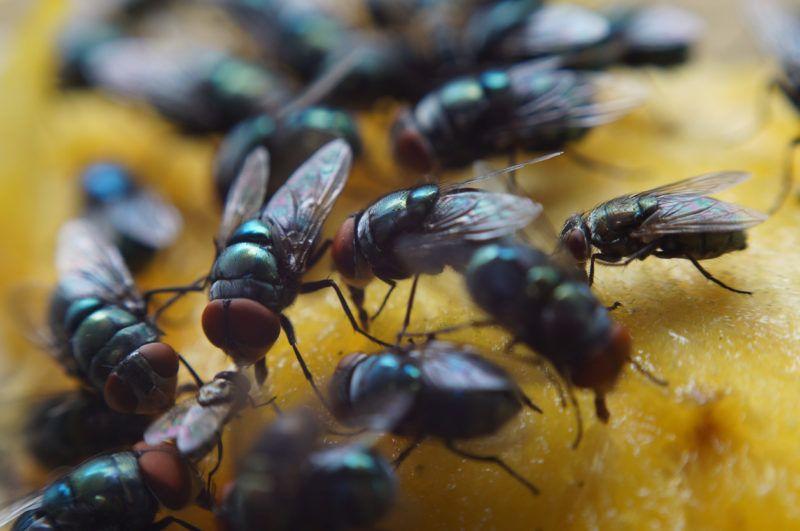 Housefly crawl and suck mango juice