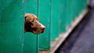 Birmingham, 2019. március 7. Kutya az évenkénti Crufts brit kutyakiállításon a birminghami Országos Kiállítási Központban 2019. március 7-én, az ötnapos rendezvény nyitónapján. A Crufts a világ legnagyobb ebseregszemléje, amelyen 22 ezer négylábú küzd a kiállítás legszebb kutyája címért. MTI/EPA/Nigel Roddis