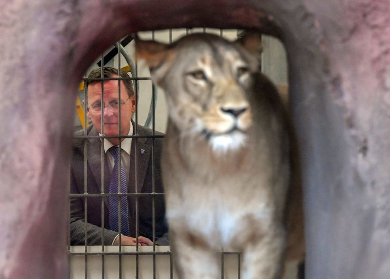 23 May 2019, Thuringia, Erfurt: Bodo Ramelow (The Left), Prime Minister of Thuringia, observes Bastet, the mother lion, visiting the baby lions in Thuringia's Zoopark. Bastet gave birth to two boys on Good Friday. Then she fell seriously ill, but recovered, and her offspring developed well. Photo: Martin Schutt/dpa-Zentralbild/dpa