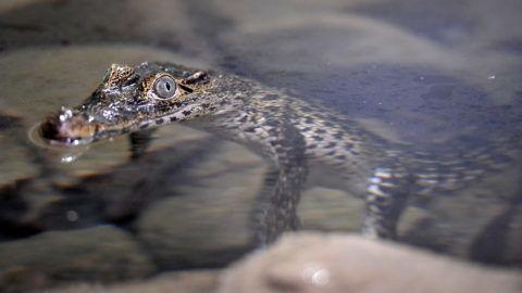 Budapest, 2019. augusztus 16. A Dániából érkezett öt rombuszkrokodil (Crocodylus rhombifer), más néven kubai vagy gyémántkrokodil egyike a Fõvárosi Állat- és Növénykertben 2019. augusztus 16-án. Az öt állat még nagyon fiatal, ezért hosszuk alig haladja meg a fél métert, de idõvel két méternél is nagyobbra nõnek majd. A rombuszkrokodil Kritikusan veszélyeztetett faj. MTI/Kovács Attila