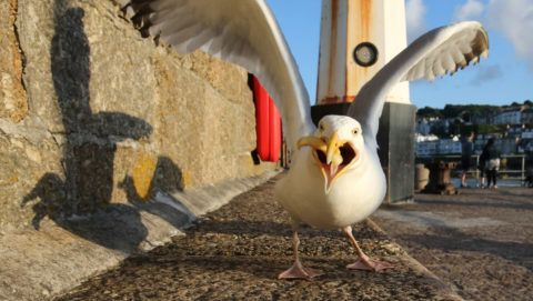 ST IVES, ENGLAND - JULY 28:  A seagull eats takeaway food left on the harbourside at St Ives on July 28, 2015 in Cornwall, England. Recent attacks by herring gulls on people and their pets has led British Prime Minister David Cameron to call for a discussion on ways of managing the birds, which are currently protected, but have been seen as an increasingly aggressive pest, especially in popular tourist seaside resorts and also in urban town and city centres.  (Photo by Matt Cardy/Getty Images)