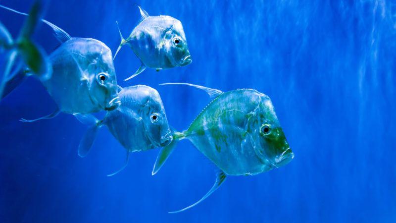 Many Silver Lookdown fish in aquarium