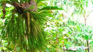 Parasitic plant on the tree for garden decoration. DivisionLycophyta, Huperzia squarrosa and Asplenium nidus L.