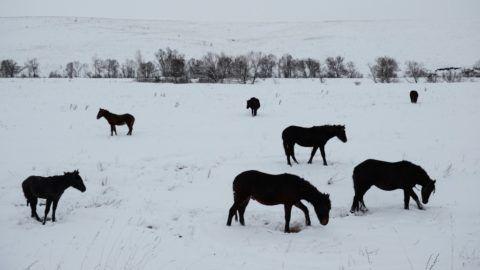 2547870 20.11.2014 Horses grazing in a field in the Altai region. Alexandr Kryazhev / Sputnik