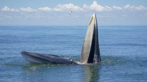 pénisz kék bálna