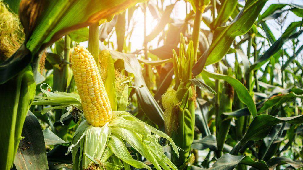 Kukorica kalória – Lehet fogyni kukoricával?