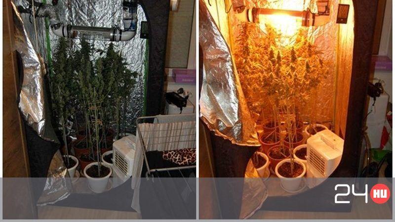 Otthon termesztett egy tucat tő marihuánát, és elfogták a rendőrök   24.hu