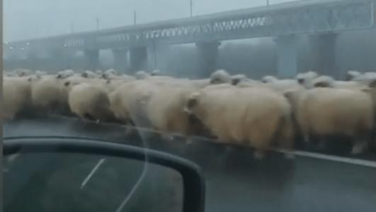 Kocsijával terelte nyáját egy pásztor a romániai autópályán