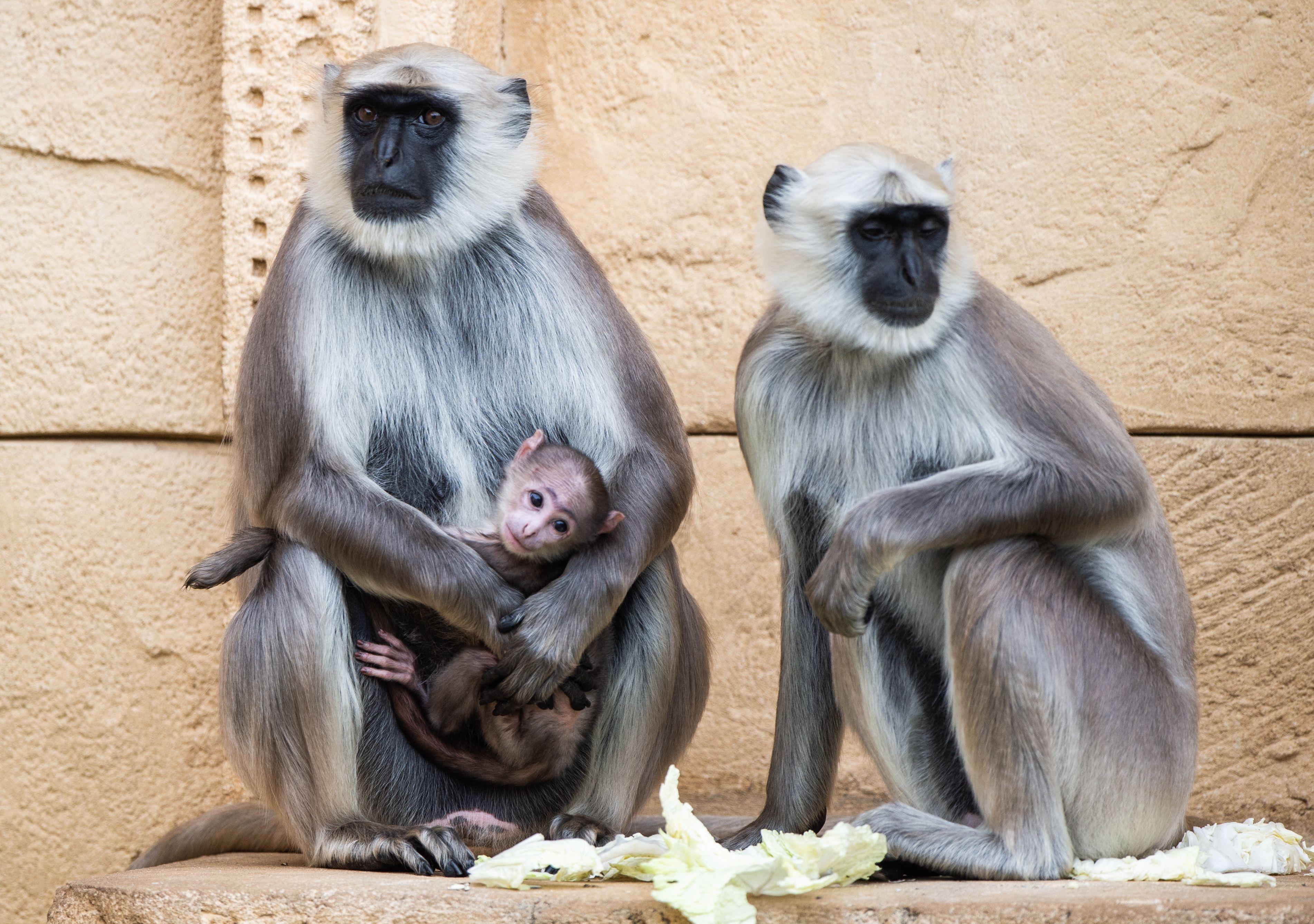 majom felállítása teljes hosszúságú pénisz