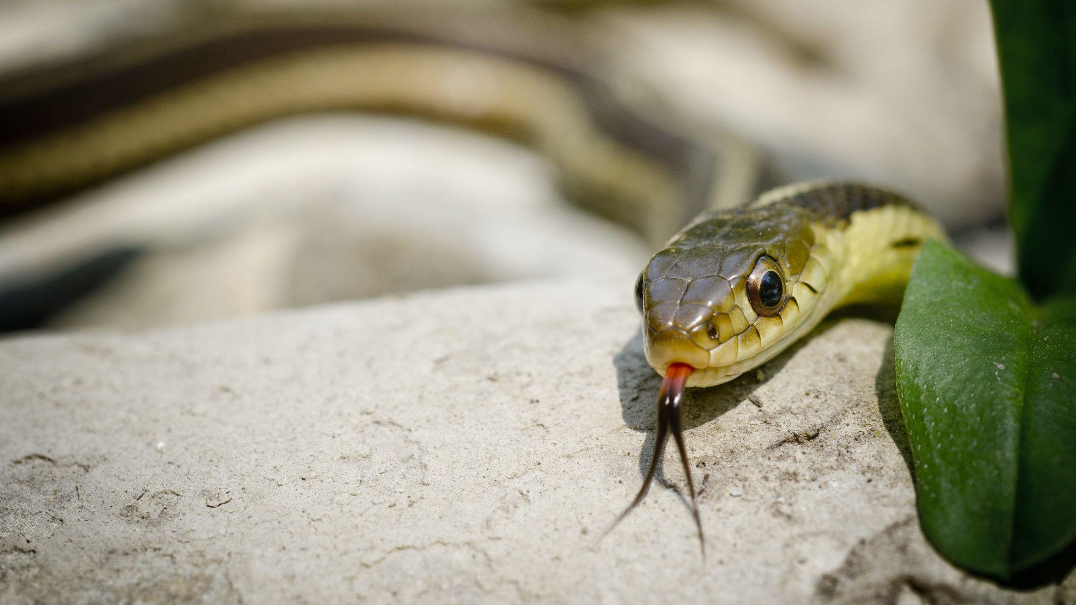 kígyó pikkelysömör kezelése