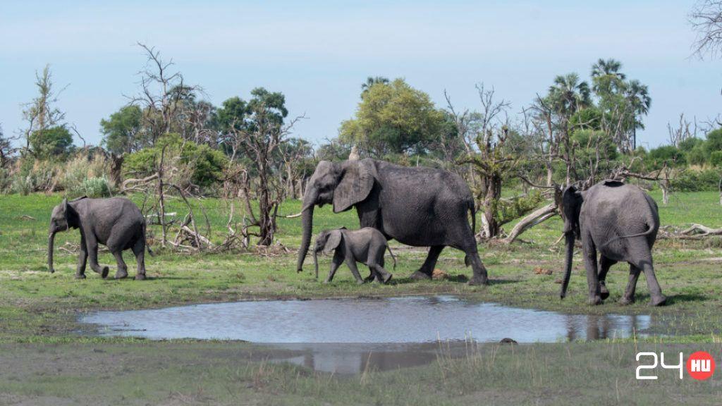 elefánt féreg