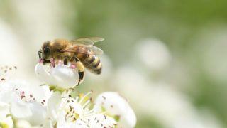 a méh genetikai rákja)
