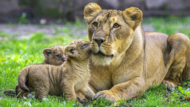 erős nők egyetlen oroszlán