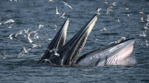 bryde bálna