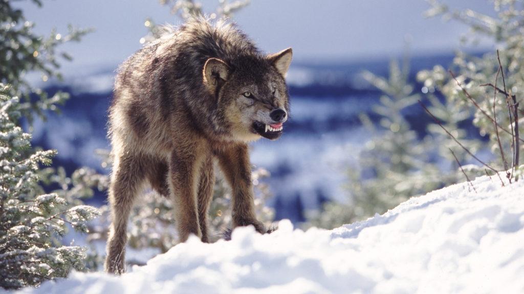 Puszta kézzel végzett a farkassal egy gazda, miután az széttépte a kutyáit
