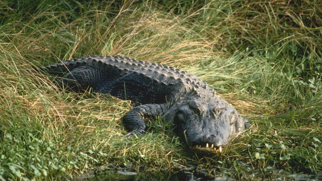 Emberevő aligátort találtak