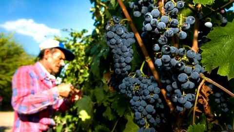 Csongrád, 2009. október 1.Egy munkás kékfrankos szőlőt szüretel Bodor István borász szőlészetében 2009. szeptember 30-án a Csongrád megyei Csongrádhoz tartozó Bokroson. Nehéz helyzetben vannak a megye szőlőtermelői, miután terményük 30 forintos kilónkénti - bizományos - átvételi ára 60-70 forintos önköltségüket sem fedezi. A szőlészek azt követelik, hogy a rosszabb minőségű, olcsó külföldi import folyóborokat ne engedjék be az országba és módosítsák az adóraktárak kötelező használatát előíró jogszabályt.MTI Fotó: Rosta Tibor