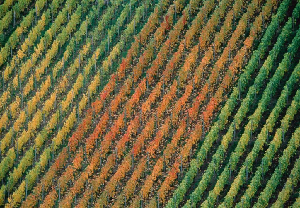 Vineyard --- Image by © Michael Weber/Corbis
