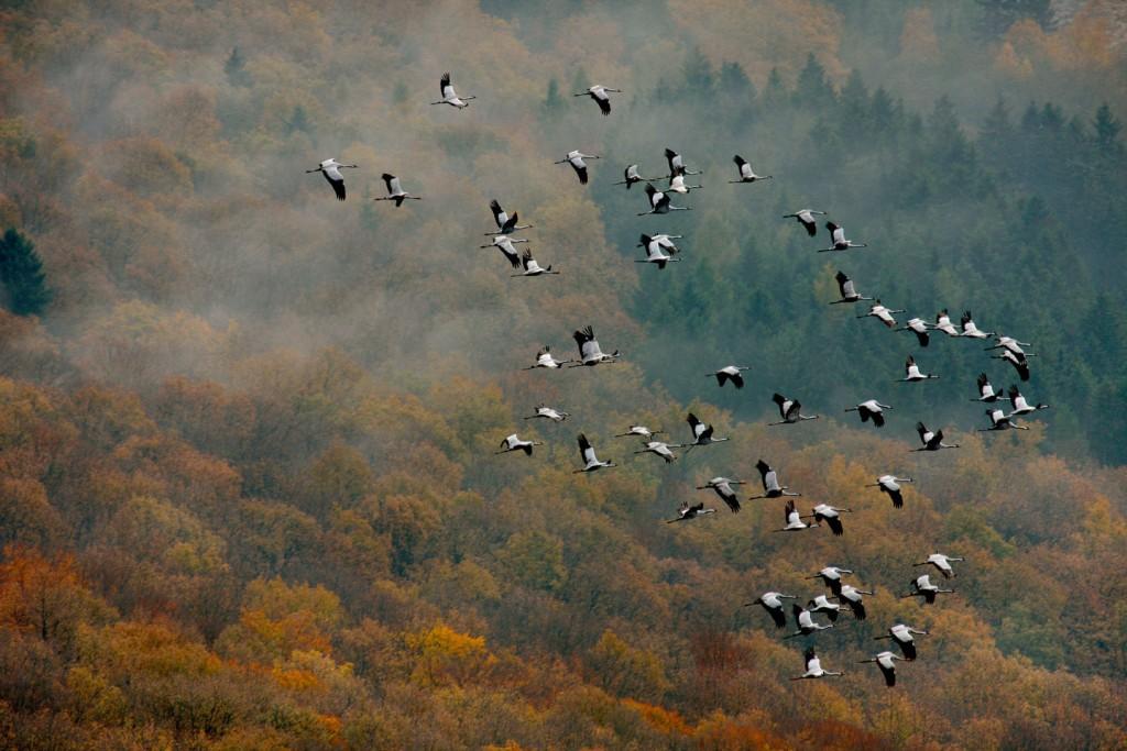 Arnsberg, Rhineland, Germany --- Aerial photo, cranes near Oeventrop over the Arnsberg Forest in autumn, Arnsberg, Sauerland, Hochsauerlandkreis, North Rhine-Westphalia, Germany, Europe --- Image by © Cornelius Paas/imageBROKER/Corbis
