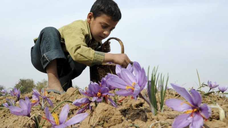 A young Kashmiri child plucks flowers as he takes part in the harvest of saffron at a farm in Pampore on the outskirts of Srinagar on November 4, 2010. The cultivation of saffron, which in India sells for more than 6,000 US dollars a kilogramme, is a potential growth industry for Indian Kashmir as the region begins to recover from decades of unrest, but drought, pollution and corruption are threatening its future.   AFP PHOTO/Tauseef MUSTAFA
