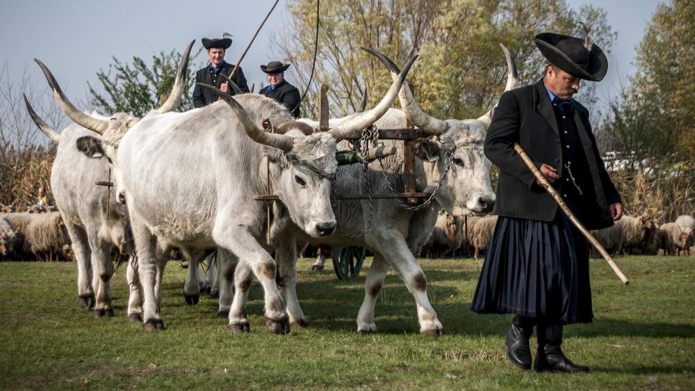 Debrecen, 2013. október 26. Hatökrös szekeret hajtanak a Szent Dömötör-napi behajtási ünnepen Hortobágyon 2013. október 26-án. A hideg idõ közeledtével a Hortobágyon, a régi népszokás hagyományait követve a pásztorok és jószágaik egyaránt a télre készülõdnek, az állatokat behajtják a pusztai legelõkrõl a téli szálláshelyükre. MTI Fotó: Czeglédi Zsolt