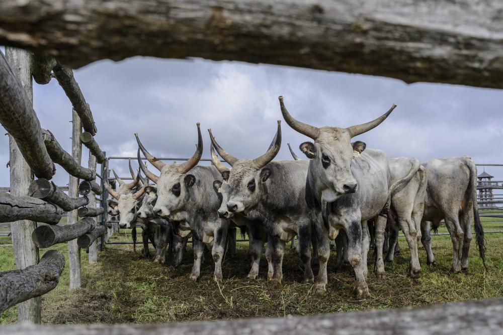 Hortobágy, 2014. október 4. Tenyészbikák a hortobágyi Pusztai Állatparkban rendezett szürkemarhabika-vásáron és tenyészszemlén 2014. október 4-én. Az árverésen a harmadéves, a fajta jellegének megfelelõ és több minõsítésen is átesett, a hortobágyi pásztorok által felnevelt tenyészbikákra lehetett licitálni. MTI Fotó: Czeglédi Zsolt