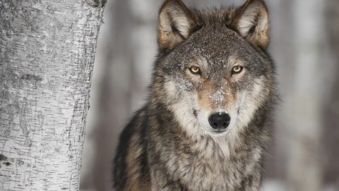 Grey Wolf (Canis lupus) Next to Birch Tree