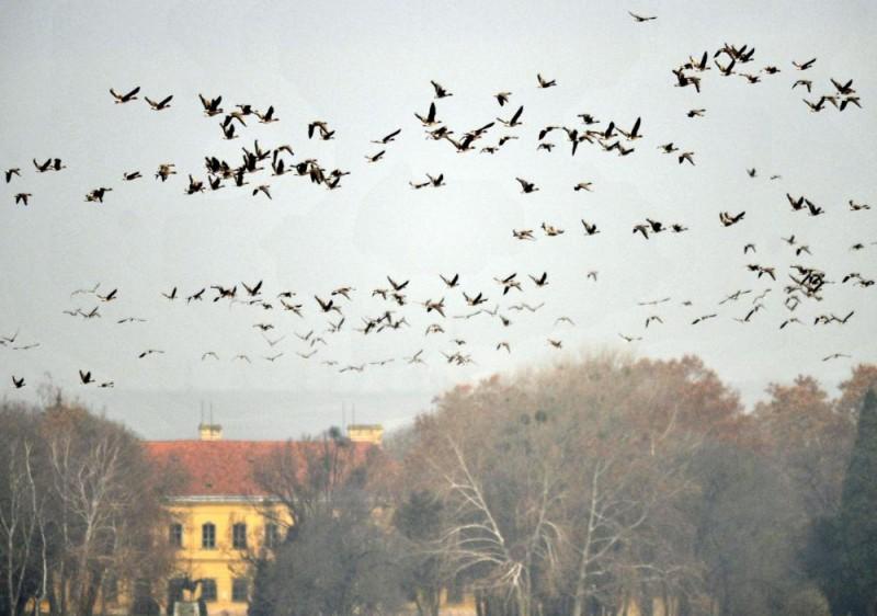 Pécs, 2009. november 27. Vadludak tömege száll fel hajnalban a tatai Öreg-tó medrébõl. Az Európa-szerte egyedülálló látványosságra a Magyar Madártani és Természetvédelmi Egyesület munkatársai 2009. november 27-én és 28-án kilencedik alkalommal hívják meg az érdeklõdõket a Tatai Vadlúd Sokadalomra, a Szibériából és Skandináviából érkezõ madarak egyik legnagyobb telelõhelyére. MTI Fotó: Beliczay László