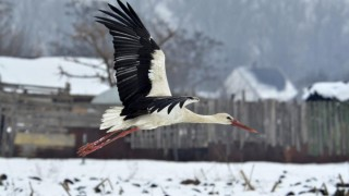 Tiszavárkony, 2014. január 30. Egy gólya repül Tiszavárkony határában 2014. január 30-án. A madár nem költözött el, és a fagyos, havas határban nehezen talál élelmet, ezért a településen lakók etetik. MTI Fotó: Mészáros János
