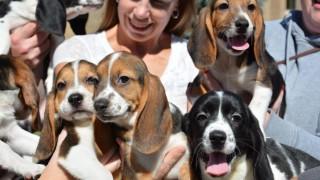 Ithaca, 2015. december 10.  A Cornell Egyetem által közreadott kép a világ elsõ mesterséges megtermékenyítés útján született és életképes kutyakölykeirõl az egyesült államokbeli Ithacában 2015. december 10-én. A Cornell Egyetem és a Smithsonian Intézet munkatársai a közös kutatásuk során lefagyasztott embriókat ültettek egy szukába, amely egy alom egészséges kölyköt, öt beagle-t és két beagle-spániel keveréket hozott világra idén júliusban. (MTI/EPA/Cornell Egyetem/Jeffrey MacMillan)