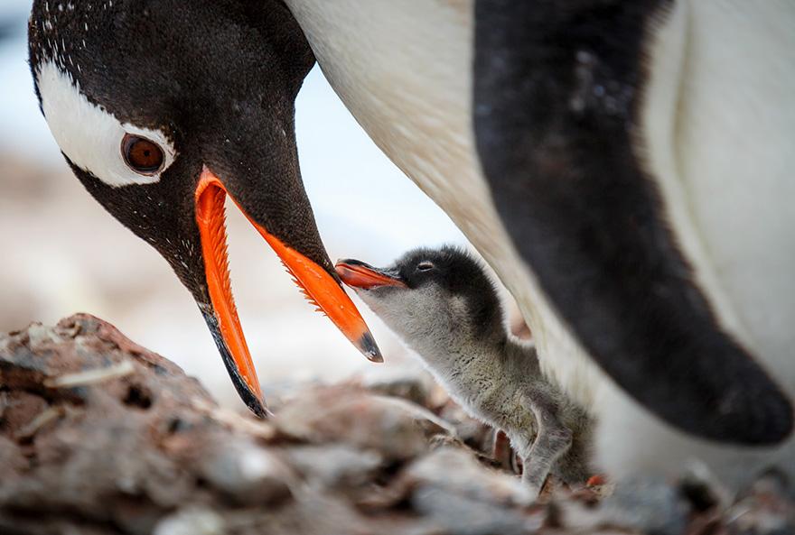 penguin-awareness-day-photography-91