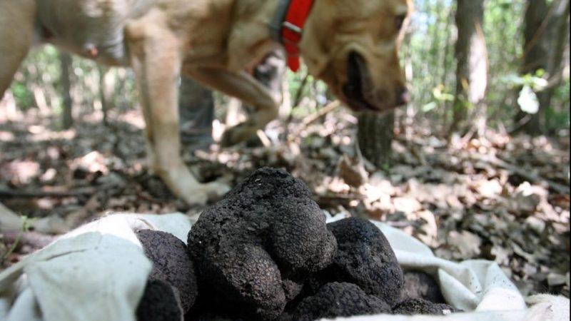 Jászivány, 2012. június 18. Egy keresõmunkára kiképzett labrador kutya kutat nyári szarvasgomba (Tuber aestivum) után a Nagykunsági Erdészeti és Faipari Zrt. jásziványi tölgyesében. A 44 hektáros területet bérlõ cég munkatársai megkezdték a zömmel nyugat-európai piacra szánt, kilónként 40-200 euró értékû nyári szarvasgomba gyûjtését. MTI Fotó: Bugány János