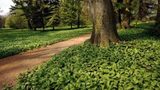 Zirc, 2010. április 25. Medvehagyma borítja a talajt a ciszterciek által alapított 20 hektáros Zirci Arborétumban. MTI Fotó: Manek Attila
