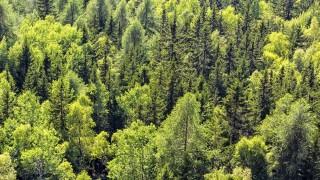 Detail of Mountain Trees