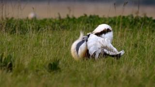 Dévaványa, 2009. április 22. Egy túzokkakas dürrög  - a madarak párzási szertartása - Dévaványa mellett, a Körös-Maros Nemzeti Park területén. A legtöbb állatfaj tavasszal szaporodik, keres párt magának. A hõmérséklet emelkedése és az egyre több táplálék erre ösztönzi õket. Megkezdõdik a madaraknál is a költési idõszak, ami kora tavasztól késõ tavaszig tart. Azok, amelyek a korai fészkelõk és párosodók közé tartoznak, ilyenkor már megújítják a tollruhát és hívogató viselkedésükkel igyekeznek felhívni magukra a másik nem figyelmét. MTI Fotó: Kovács Attila