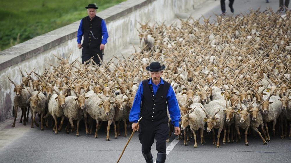 Hortobágy község, 2016. április 23. Rackanyáj vonul át a hortobágyi Kilenclyukú hídon a Szent György-napi kihajtási ünnepen 2016. április 23-án. Az állattenyésztéssel foglalkozó népek, a néphagyomány szerint az igazi tavasz kezdetét Szent György napjától, azaz április 24-tõl számították, és ez idõ tájt hajtották ki a jószágokat a téli szálláshelyekrõl a legelõkre. MTI Fotó: Czeglédi Zsolt