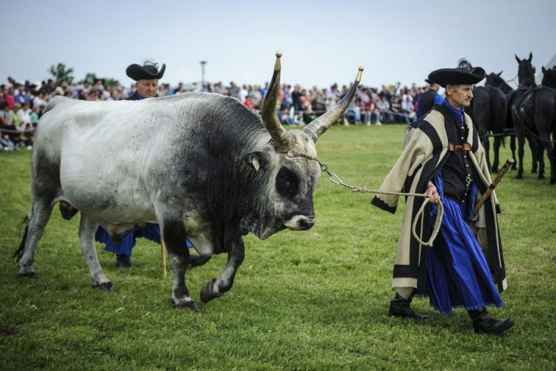 Hortobágy község, 2016. április 23. Szürkemarhát hajtanak pásztorok a Szent György-napi kihajtási ünnepen a hortobágyi vásártéren 2016. április 23-án. Az állattenyésztéssel foglalkozó népek, a néphagyomány szerint az igazi tavasz kezdetét Szent György napjától, azaz április 24-tõl számították, és ez idõ tájt hajtották ki a jószágokat a téli szálláshelyekrõl a legelõkre. MTI Fotó: Czeglédi Zsolt