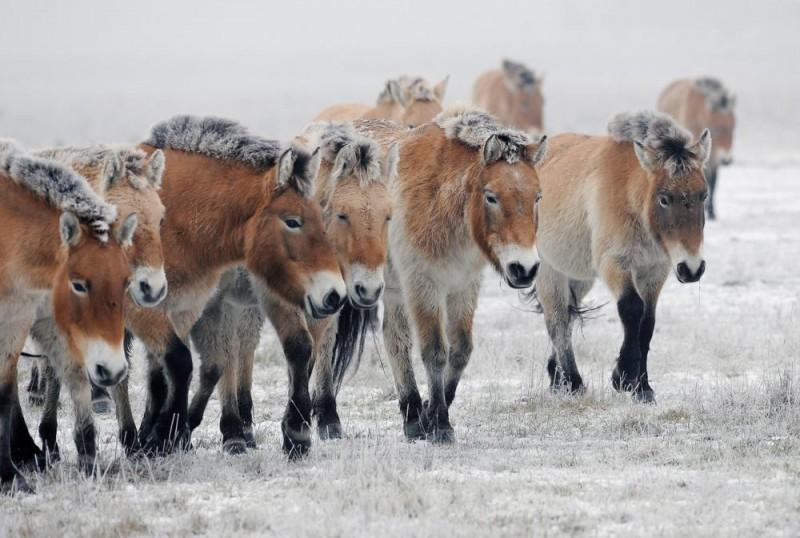 Hortobágy, 2016. január 8. Eurázsiai vadlovak (Przewalski-lovak) a Hortobágyon, a pentezugi pusztában. A Hortobágyi Vadaspark 2500 hektáros területére 1997-ben több részletben 25 eurázsiai vadlovat telepítettek. A Przewalski-ló (Equus ferus przewalski) egyedszáma mára a 25 háremben 333- ra szaporodott. Az  emberi gondoskodás nélkül, de felügyelet mellett tartott állomány ma a világ legnagyobb egyben õrzött populációja. MTVA/Bizományosi: Oláh Tibor  *************************** Kedves Felhasználó! Ez a fotó nem a Duna Médiaszolgáltató Zrt./MTI által készített és kiadott fényképfelvétel, így harmadik személy által támasztott bárminemû – különösen szerzõi jogi, szomszédos jogi és személyiségi jogi – igényért a fotó készítõje közvetlenül maga áll helyt, az MTVA felelõssége e körben kizárt.