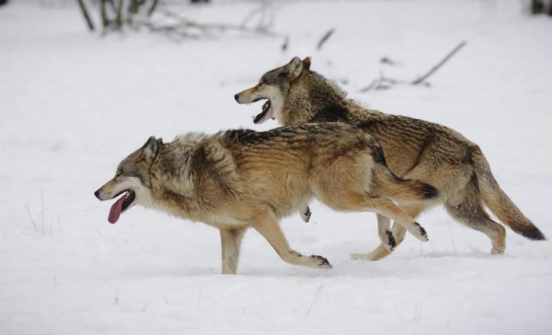 Hortobágy, 2013. január 28. Farkasok futnak a hóban a Hortobágyi Vadasparkban 2013. január 28-án. MTI Fotó: Czeglédi Zsolt