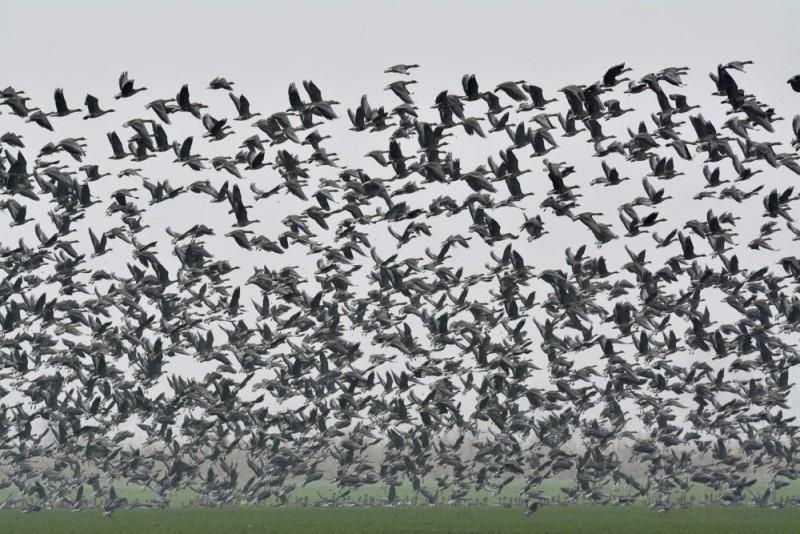 Hortobágy község, 2015. december 4. Nagy lilikek (Anser albifrons) Hortobágy térségében 2015. december 4-én. Magyarországon az egyik legnagyobb számban elõforduló vadlúdfaj, amelynek több tízezres populációja október és március között rendszeres vendége a hortobágyi pusztáknak és halastavaknak. MTI Fotó: Czeglédi Zsolt