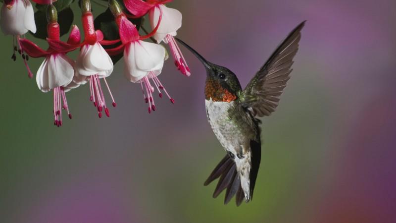 Adult male Ruby-throated Hummingbird feeding of fuschia flowers
