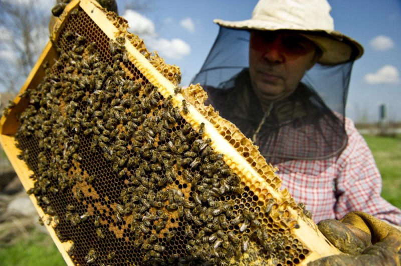 Orosháza, 2011. április 3. Szokás Gábor méhész Orosháza közeli tanyáján 120 kaptárnyi méhállományát vizsgálja, egyenként kiemeli a kereteket és ellenõrzi, hogy minden rendben van-e az állománnyal. A tavalyi év a méhészek elmúlt 30 évének legnehezebbje volt. Idén sem indul könnyen a szezon a termelõknek, hiába kapnak extra támogatást az idén. A hosszúra nyúlt télnek köszönhetõen a méhek felélték tartalékaikat és a magas cukorár igen megdrágította a méhek tartását. MTI Fotó: Rosta Tibor
