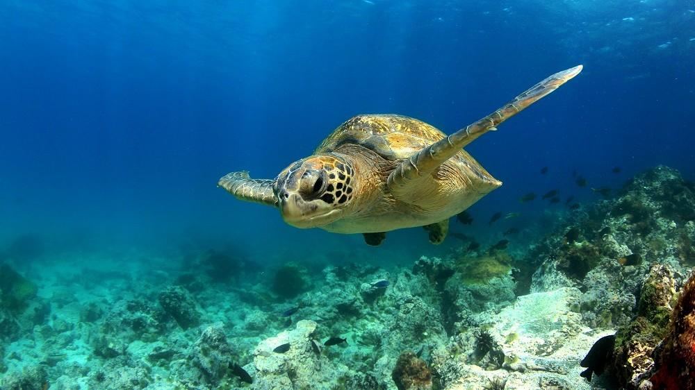 Green sea turtle swimming underwater in lagoon