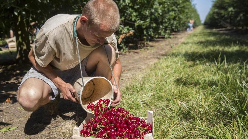 Csorvás, 2015. június 29. Meggyet szed egy munkás a HUNAPFEL Mezõgazdasági Kft. Csorvás határában lévõ gyümölcsösében 2015. június 29-én. A Hunapfel területén mintegy hatszáz munkással és meggyrázó géppel szüretelik a fõleg exportra szánt gyümölcsöt. MTI Fotó: Rosta Tibor