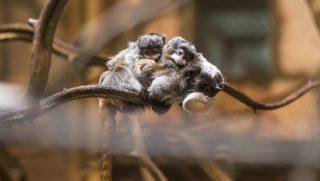 Nyíregyháza, 2016. július 11. Császárbajszú tamarin ikrek (Sauginus imperator) kapaszkodnak anyjukba a Nyíregyházi Állatparkban 2016. július 11-én. A 140 napnyi vemhesség után született majmok idejük nagy részét az ivarérett állatok hátán kapaszkodva töltik, de olykor már önállóan is ismerkednek a kifutóikkal. MTI Fotó: Balázs Attila