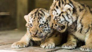 Nyíregyháza, 2015. augusztus 6. Vladim (b) és Katja, négyhetes szibériai tigrisek (Panthera tigris altaica) a Nyíregyházi Állatparkban 2015. augusztus 6-án. A már Nyíregyházán született Pamir két kölyke, Katja és Vladim négyhetes orvosi vizsgálaton vett részt. MTI Fotó: Balázs Attila