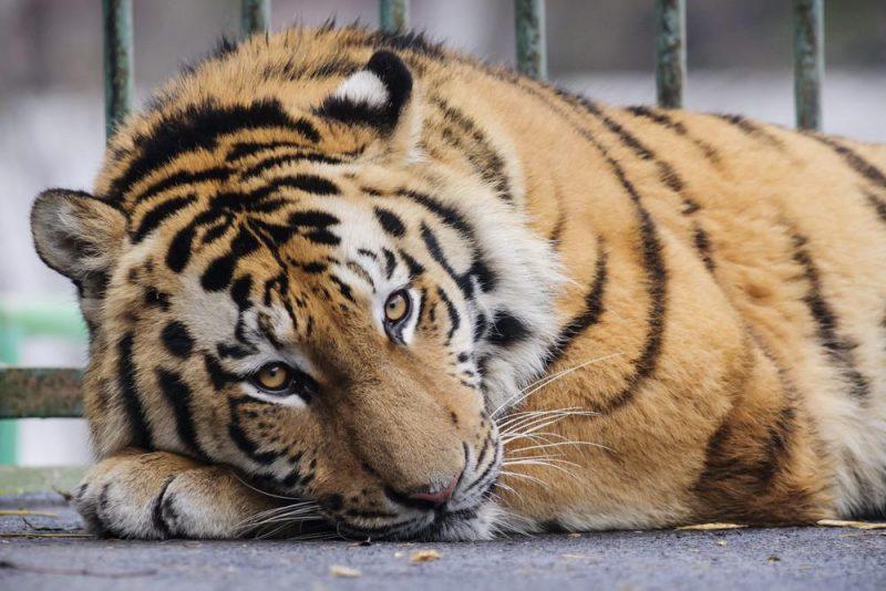 Debrecen, 2014. február 7. A Miska nevû, kétéves hím szibériai tigris (Panthera tigris altaica) a Debreceni Állat- és Növénykertben 2014. február 7-én. A tigris egy franciaországi szafari parkból érkezett Debrecenbe az Európai Állatkertek és Akváriumok Szövetségének nemzetközi fajmentõ programja részeként. MTI Fotó: Czeglédi Zsolt
