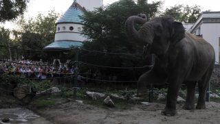 Budapest, 2015. augusztus 29. Vendégek az elefántok kifutójánál az Állatkertek éjszakája rendezvényen a Fõvárosi Állat- és Növénykertben 2015. augusztus 28-án este. MTI Fotó: Kovács Attila