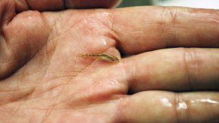 Poroszló, 2013. július 12. Kaukázusi törpegéb (Knipowitschia caucasica) fiatal példánya a Tisza-tavi ökocentrumban, Poroszlón. A Fekete-tengerben és a Duna torkolati szakaszán honos halfaj tömeges magyarországi elõfordulásáról 2012 nyarán számolt be elõször a Magyar Haltani Társaság. A szervezet nemrégiben genetikai vizsgálatokkal tudományosan is igazolta: valóban a mindössze másfél évig élõ és legfeljebb 3 centiméteres testhosszt elérõ kaukázusi törpegéb példányait találták meg a Tiszán és a Tisza-tó vízrendszerében. MTI Fotó: Bugány János