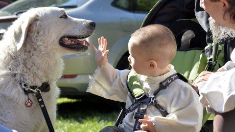 Várpalota, 2015. szeptember 6. Egy kisfiú egy kutyával játszik a Magyar Kuvasz Fajtagondozó Egyesület (MKFE) klubkiállításán és tenyészszemléjén a várpalotai Thury-várban 2015. szeptember 6-án. MTI Fotó: Máthé Zoltán